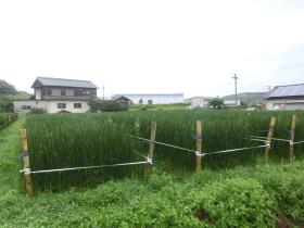 七島藺の畑